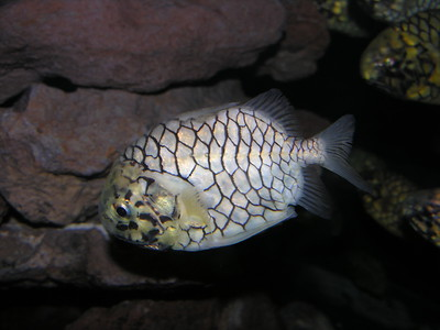 © Joseph Dougherty. All rights reserved.   Monocentris japonica (Houttuyn, 1782) Japanese Pinecone Fish