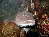 Nesting ling cod, letting me know he doesn't like me this close