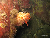 Mouth end of Sea Cucumber