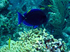 Blue tang at cleaning station.