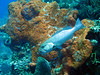 Grouper at cleaning station--taken at Coral Gardens
