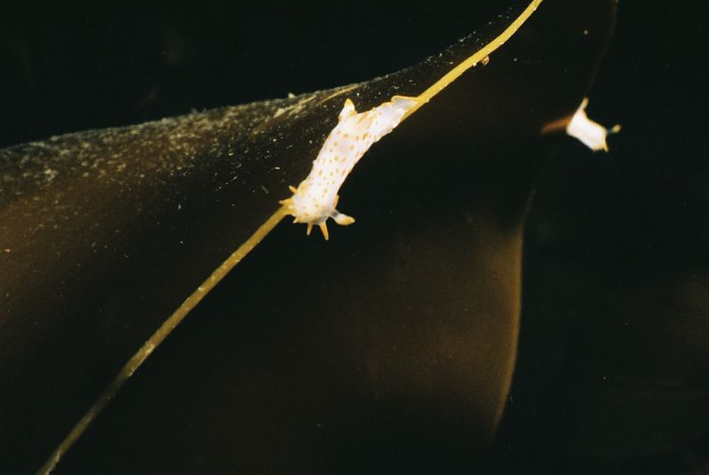 Nudibranch (Polycera quadrilineata).