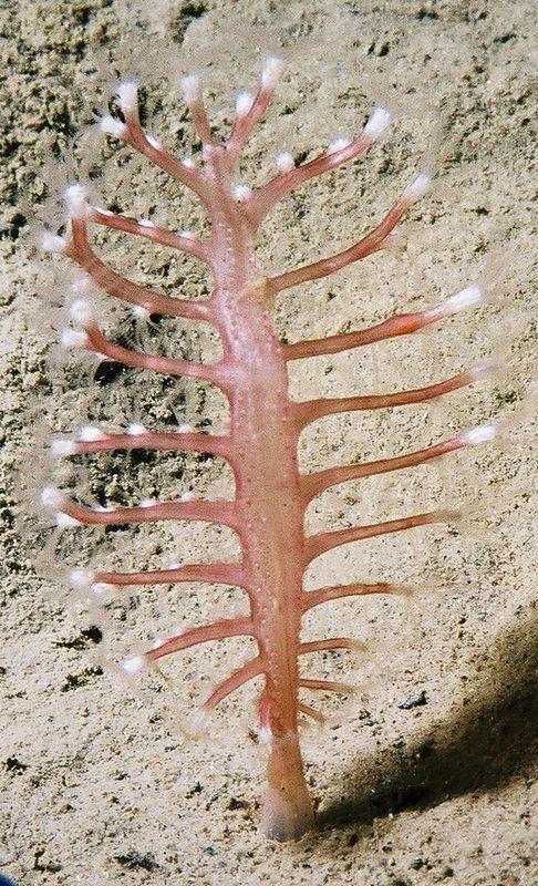 Seapen (Pennatula phosphorea).