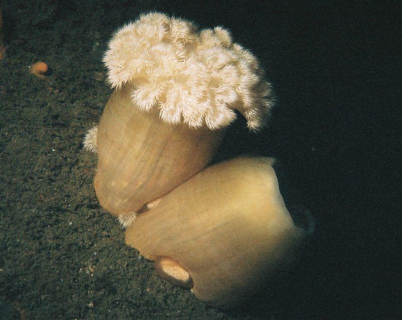 Plumrose anemone (Metyridium senile).