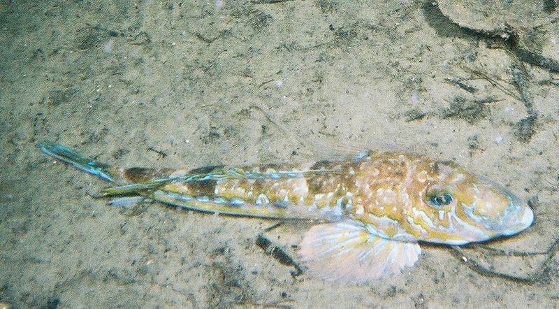 Male dragonet (Callionymus lyra).