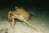 Deep-sea king crab (Lithodes maja)