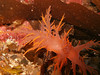 Giant Nudibranch (sea slug)