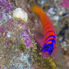 Bluebanded Goby - San Clemente