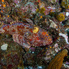 We saw 3 Scorpion Fish in the same depression - Tanner Bank