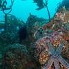 Starfish -Tanner Bank