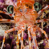 hinge beak shrimp