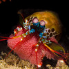 mantis shrimp (with eggs)