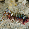 Juvenile peacock mantis shrimp at White Beach