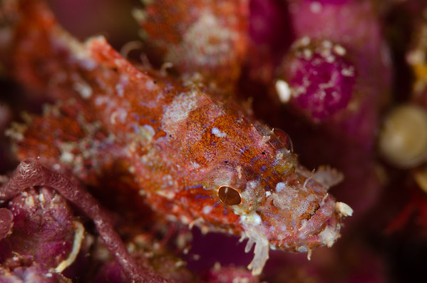 Juvenile scorpion fish at Lagoon Point