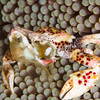 Porcelain crab at Mirror Pond