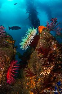 Kelp Forest Anemones