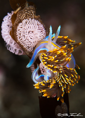 Horned Aeolid Nudibranch with egg ribbons