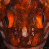 Copper Rockfish portrait