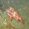 Juvenile Vermilion? at night, Monterey breakwater, May 08