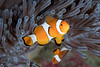 False Percula Clownfish (Amphiprion ocellaris)