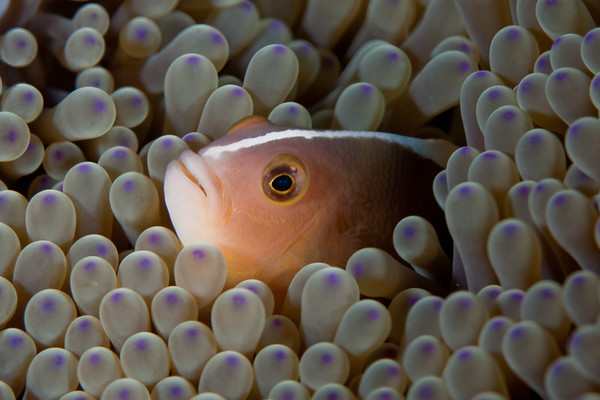 Pink Anemonefish (Amphiprion perideraion)