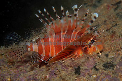 juvenile lion fish 1