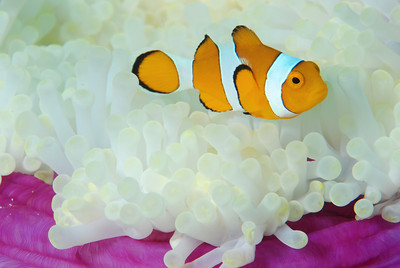 "Clown Anemonefish ""Amphiprion percula"""