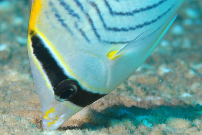 "Chevronned Butterflyfish, ""Chaetodon trifascialis"""