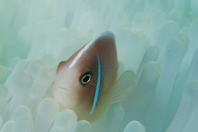 "Pink Anemonefish,   ""Amphiprion perideraion"""