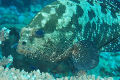 """Camouflage grouper, """"Epinephelus polyphekadion"""""""
