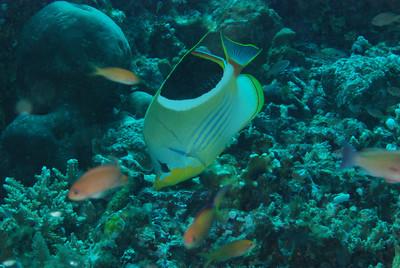 "Saddled butterflyfish, ""Chaetodon ephipium"""