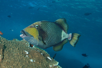 "Danger, Titan Triggerfish ""Balistoides biridescens"" , known to bite savagely."