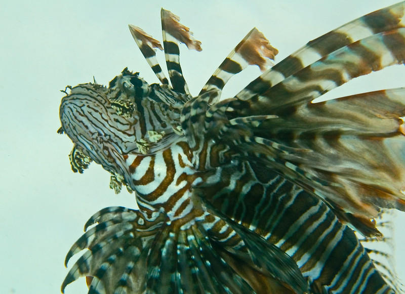 Lionfish from below.