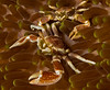 Porcelain crabs on anemone
