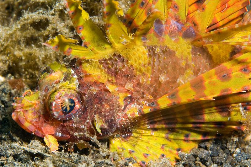 Shortfin lionfish.