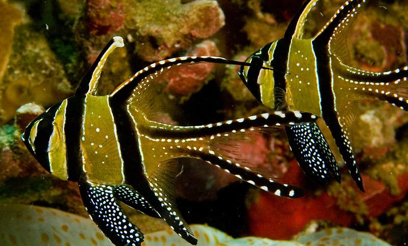 Bangghai Cardinalfish.  Native only to Bangghai Islands, but introduced and thriving in Lembeh Str.