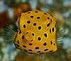 Juvi trunkfish