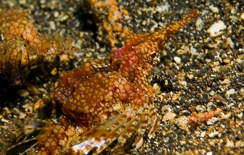 Pegasus (sea moth)