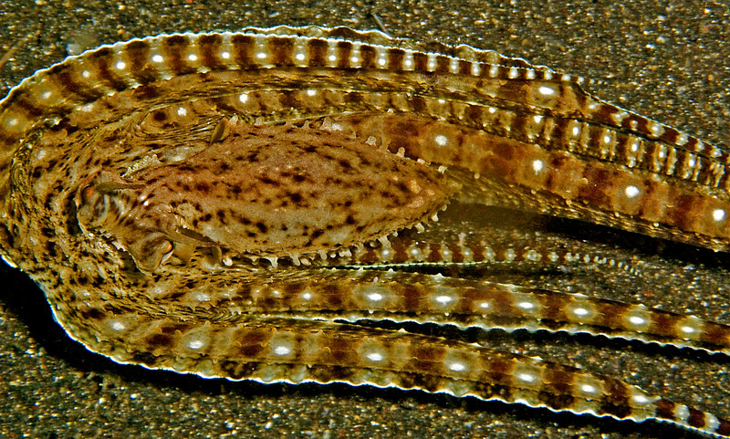 Mimic octopus trying to look like a flounder.