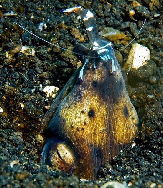 Snake eel provides a perch for cleaner shrimp.