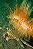 Decorator crab carrying a fire urchin on its back.  Camoflage and defense in one.