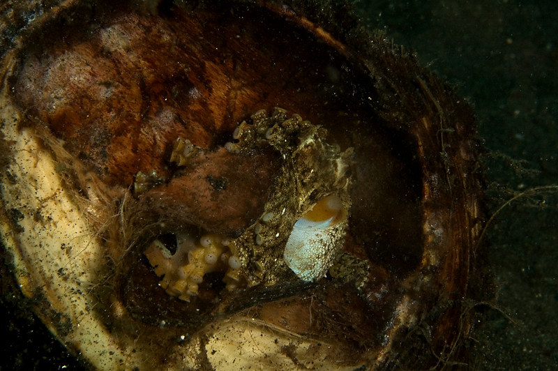 Coconut octopus finds a half coconut shell.  Hurray!