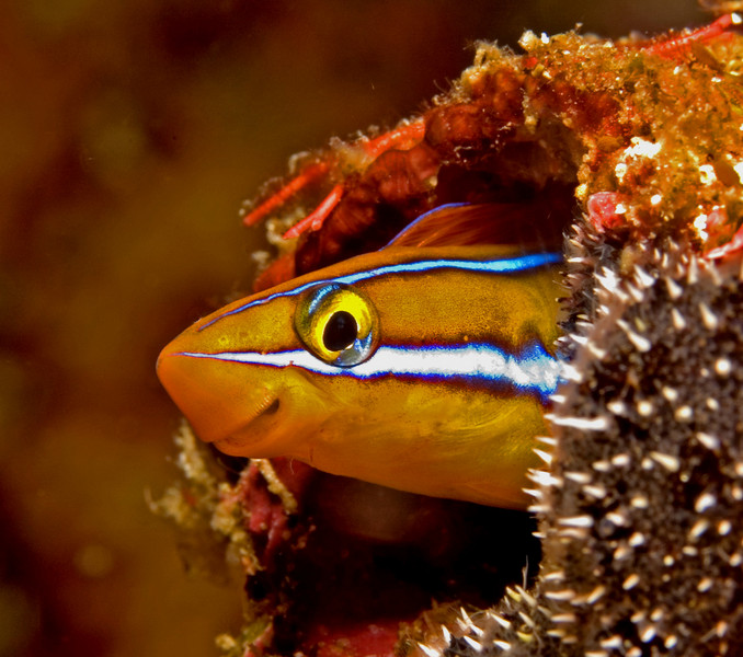 Coral blenny takes a peek outside.