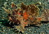Hispid(?) frogfish.  On the black sand of Lembeh.