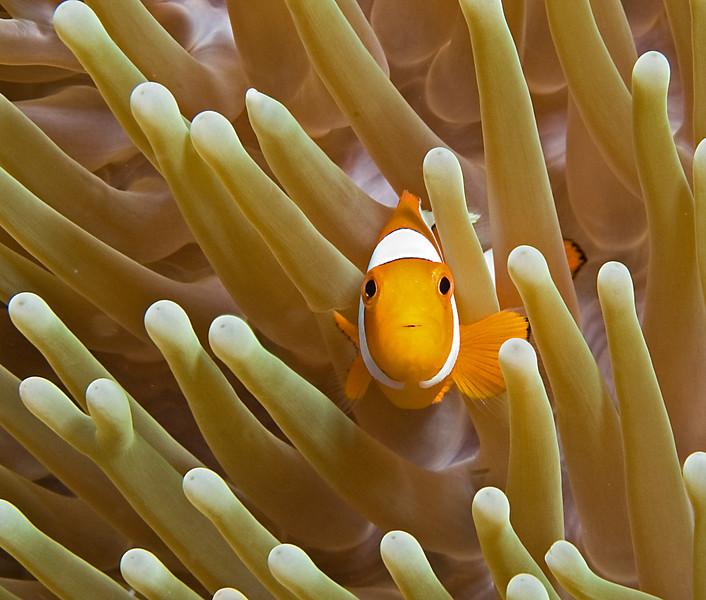 Nemo (False Clown Anemonefish)