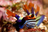 """Rainbow"" nudibranch (Nembrotha pupureolineata)"