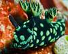 Nudibranch (Nembrotha cristata)