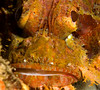Scorpionfish close-up.