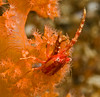 Squat lobster on softcoral