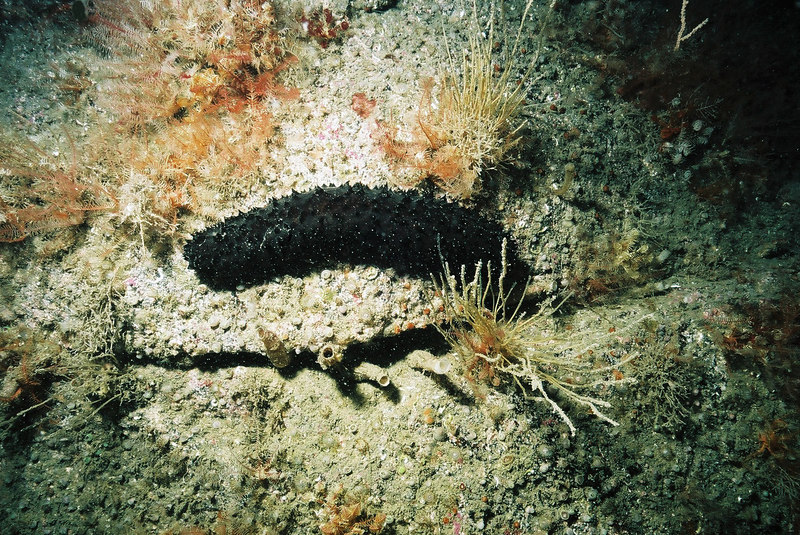 There are sea cucumbers (Holothuria forskali) everywhere.